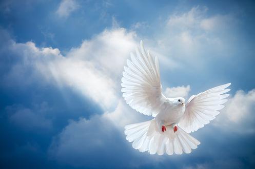Обои Белый голубь в солнечных лучах на фоне голубого неба и облаков