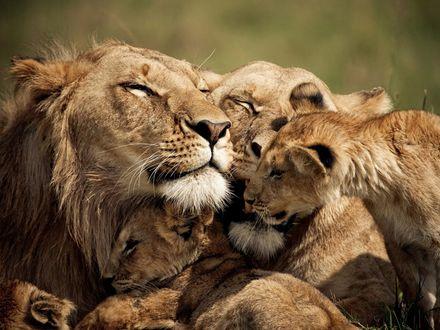 Обои Нежности львиного семейства