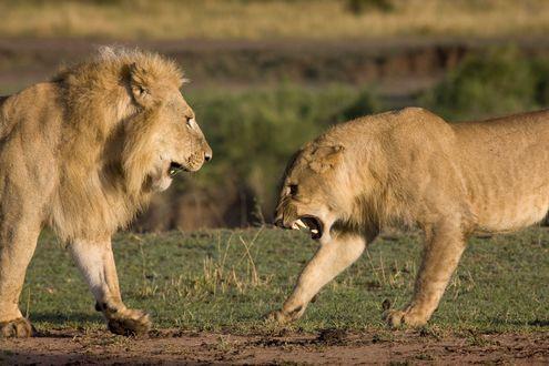 Обои Рычащая львица на льва