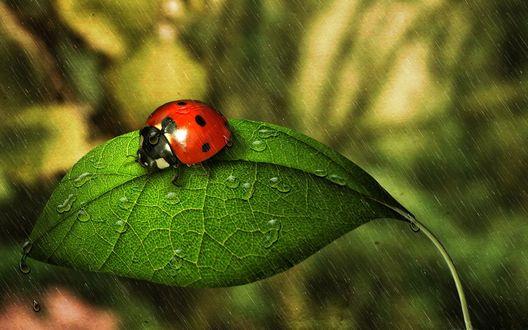 Обои Божья коровка на зеленом листе с каплями под дождем