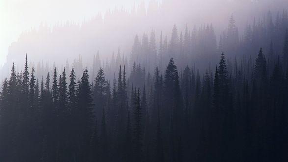 Обои Серый лес, покрытый туманом