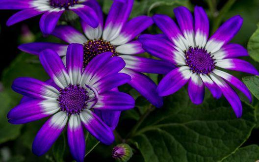 Обои Красивые цветы остеоспермума