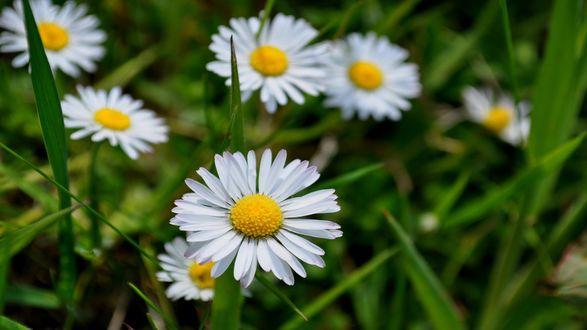Обои Белые ромашки в траве крупным планом
