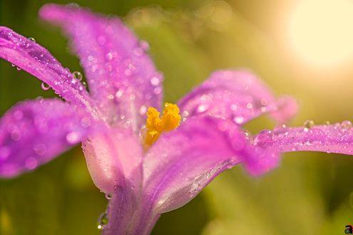 Обои Розовый цветок в каплях росы, фотограф Abdularhman Adi