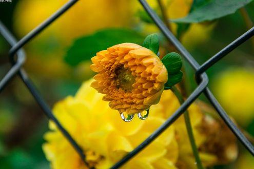 Обои Желтый цветок с каплями росы у забора, фотограф Abdularhman Adi