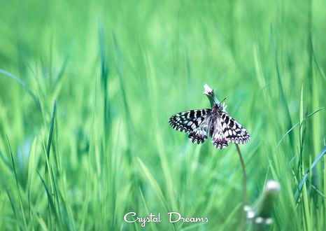 Обои Бабочка на стебельке (Crystal Dreams), фотограф Крылова Татьяна