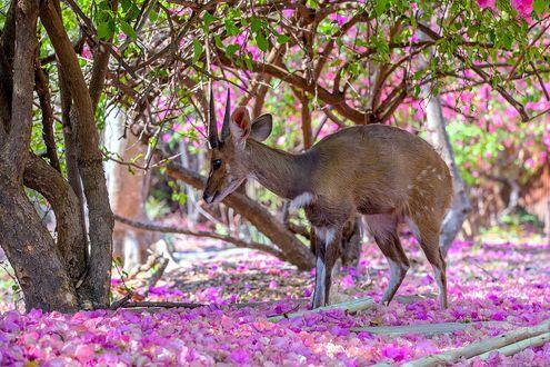 Обои Антилопа стоит на лепестках, упавших с деревьев, фотограф JH Atala