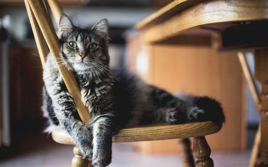 Обои Пушистый, серый, полосатый кот замер на стуле, изумленно открыв глаза