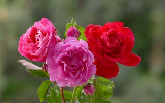 Обои Три розы на размытом фоне