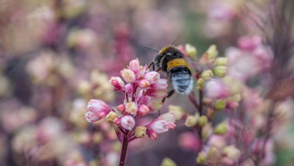 Обои Пчела на розовом цветке на размытом фоне, by Jazzmatica