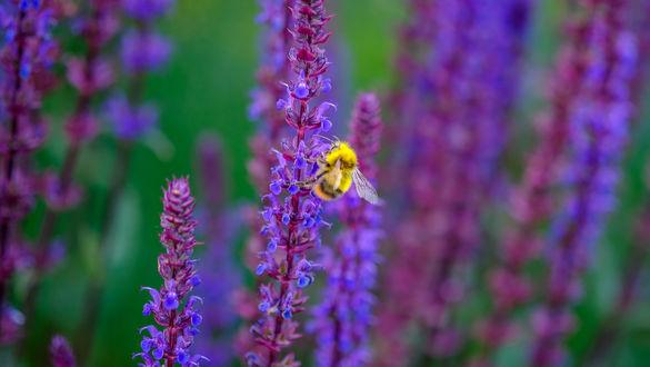 Обои На сиреневом цветке сидит пчела, by Jazzmatica