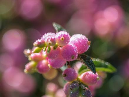 Обои Розовые ягоды на размытом фоне, by Jazzmatica