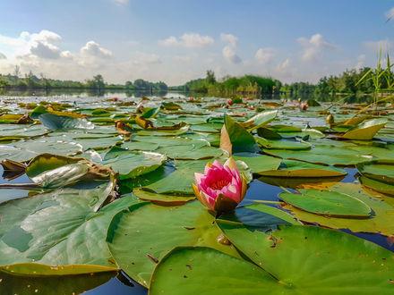 Обои Розовый лотос на воде с листьями под облачным небом