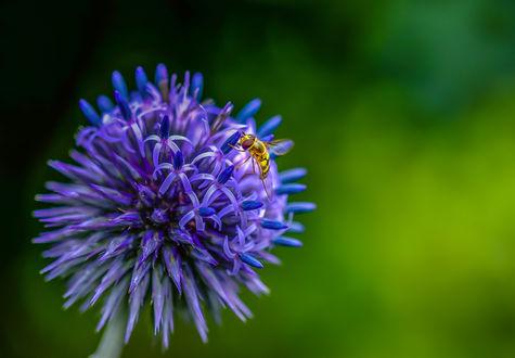 Обои Пчела сидит на голубом цветке на размытом фоне, by Jazzmatica