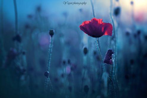 Обои Красный мак на размытом фоне, фотограф yayoi