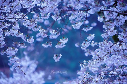 Обои Весеннее цветение дерева, фотограф yayoi