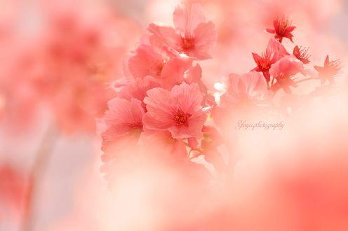 Обои Весеннее цветение сакуры, фотограф yayoi