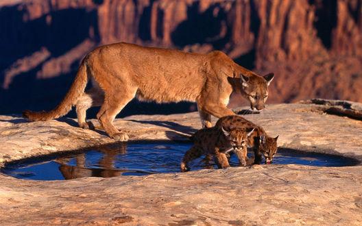 Обои Пума со своими маленькими детенышами у воды