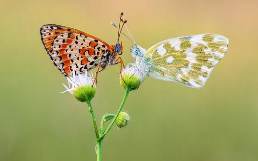Обои Две красивых разноцветных бабочки на цветке