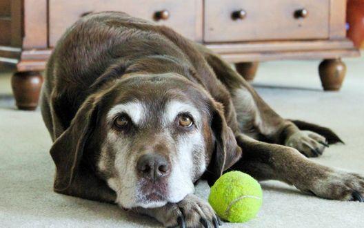Обои Грустная собака с теннисным мячом