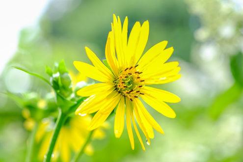 Обои Желтый цветок на размытом фоне, by Jazzmatica