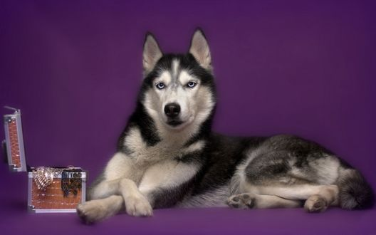 Обои Собака хаски лежит рядом с коробкой для украшений на лиловом фоне
