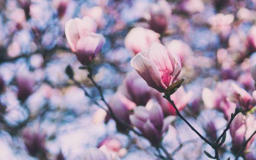 Обои Ветки цветущей магнолии на размытом фоне