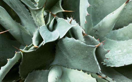 Обои Серо-зеленые листья кактуса с колючками
