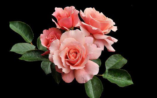 Обои Розовые розы с листьями на черном фоне