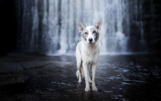 Обои Собака стоит в воде на фоне водопада