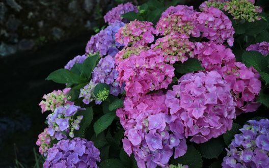 Обои Куст цветущей гортензии