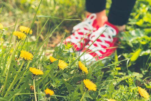 Обои Ножки в красных кедах стоят в траве среди одуванчиков