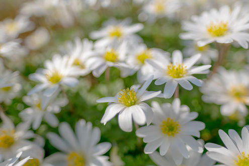 Обои Белые мелкие цветы