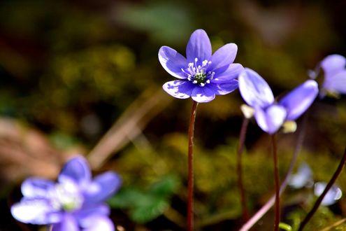 Обои Дикие весенние цветы, фотограф Iva Ivanova