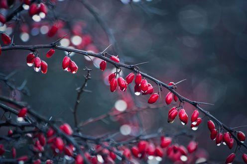 Обои Ветка с ягодами в каплях воды, фотограф Iva Ivanova