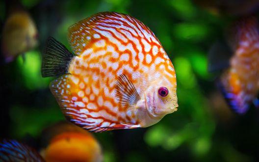 Обои Яркая океаническая рыба дискус