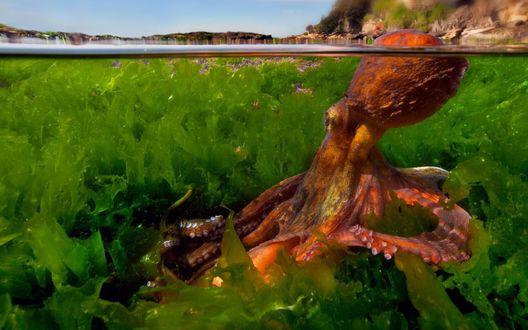 Обои Осьминог в зарослях водорослей