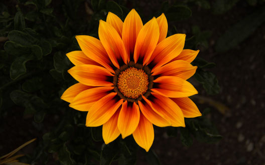 Обои Ярко-оранжевый цветок газания на размытом темном фоне