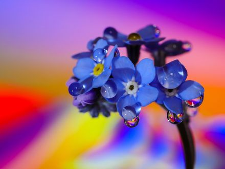 Обои Цветы незабудки в каплях росы на размытом радужном фоне