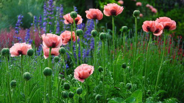 Обои Нежно-розовые маки в поле
