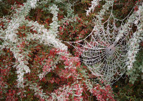 Обои Паутина среди веток с зелеными и красными листьями и красными мелкими ягодами, все покрыто изморозью