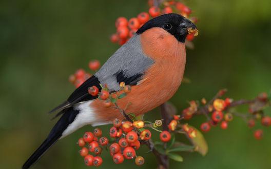 Обои Птица снегирь на ветке красной рябины