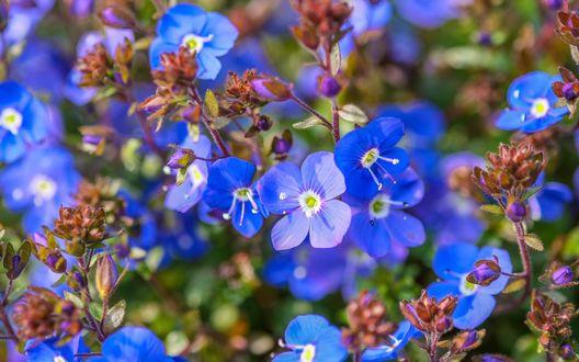 Обои Маленькие голубые цветы незабудки