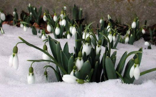 Обои Первоцветы подснежники под тающим весенним снегом