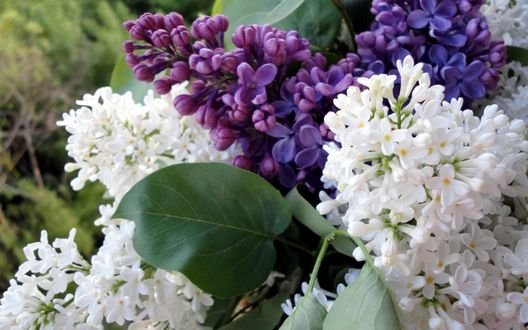 Обои Весенние цветы сирени крупным планом