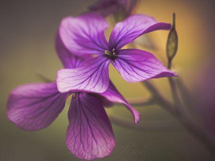 Обои Сиреневые цветы, фотограф Marie Rich