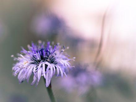 Обои Голубой цветок на размытом фоне, фотограф Marie Rich