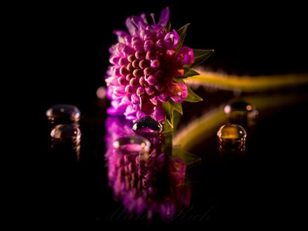 Обои Розовый цветок и его отражение на поверхности, фотограф Marie Rich
