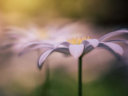 Обои Белый цветок на размытом фоне, фотограф Marie Rich