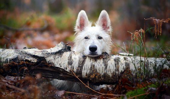 Обои Белая собака лежит, положив голову на лежащий ствол березы, by Erell B
